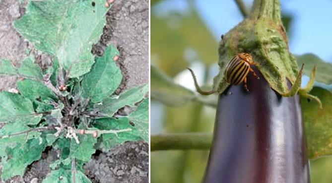 Bakłażan - rośnie i pielęgnuje w otwartym polu, szklarni