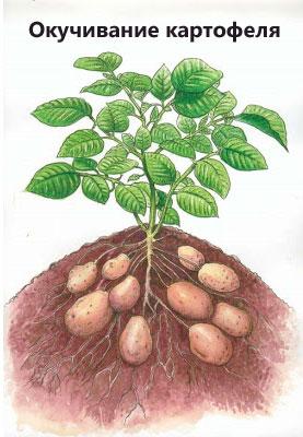 Ziemniaki Rocco: opis odmiany, zdjęcia
