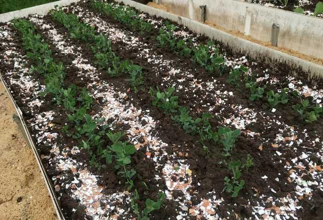 Korzyści dla ogrodu warzywnego ze skorupek jaj