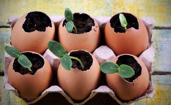 Sadzenie sadzonek w skorupkach jaj