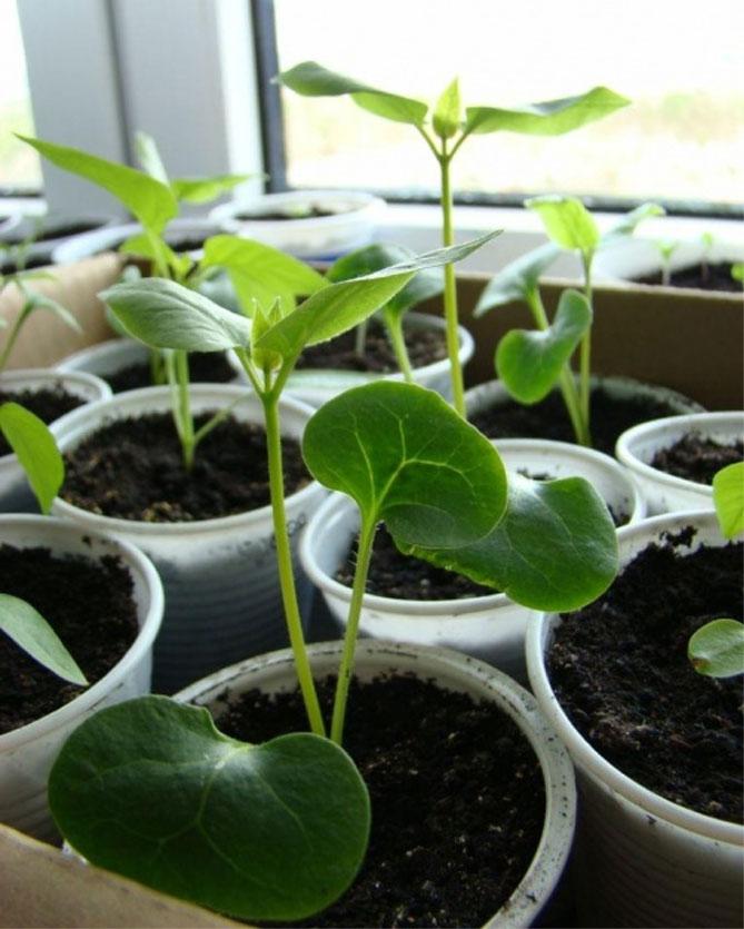 Mirabilis - sadzenie i pielęgnacja na otwartym polu