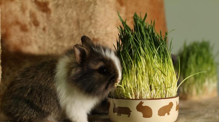 Jak karmić ozdobnego królika?