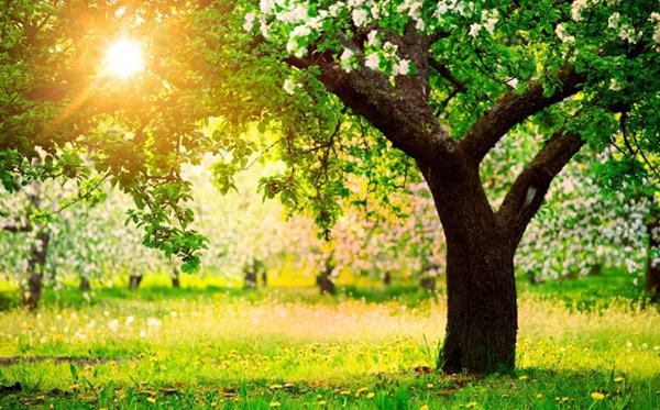Żywotność jabłoni zależy od okresu rozpoczęcia owocowania.