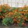 Co sadzić obok nagietków
