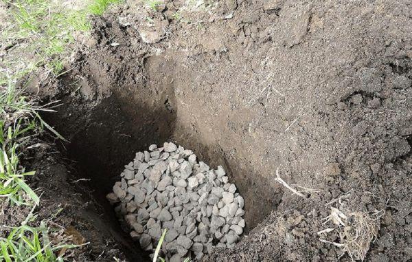 Jak sadzić sadzonkę świerka na wiosnę w ich letnim domku