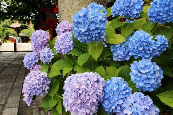 Jak karmić hortensję wiosną i latem dla wzrostu i bujnego kwitnienia