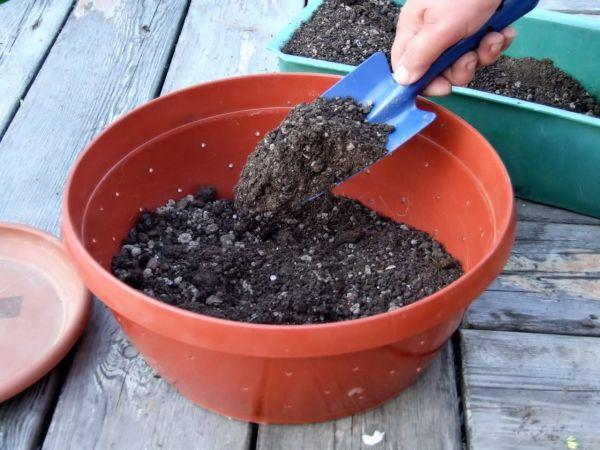 Kiedy i jak sadzić gatsaniya na sadzonkach