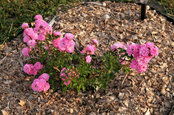 Jak prawidłowo pielęgnować róże na zewnątrz latem