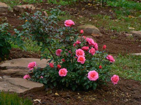 Kiedy i jak prawidłowo przesadzić różę w inne miejsce