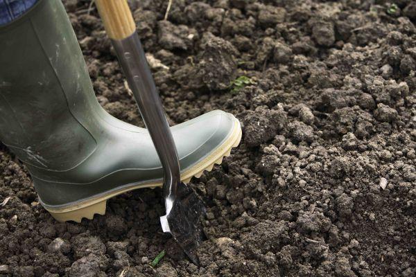Kiedy i jak sadzić pigwę pospolitą na wiosnę