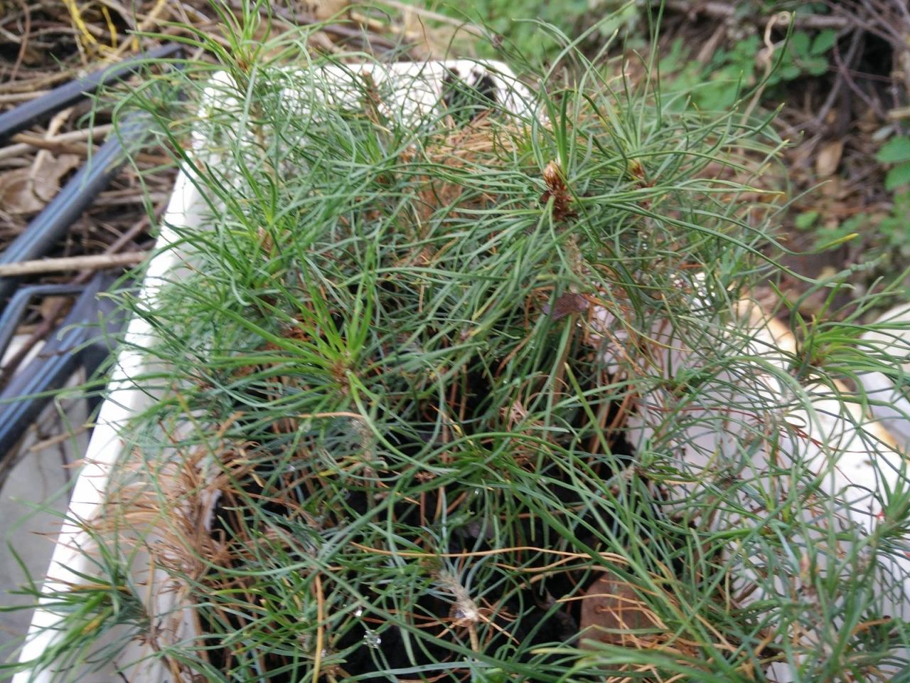 Sadzenie i przesadzanie sosny, cechy rozmnażania roślin