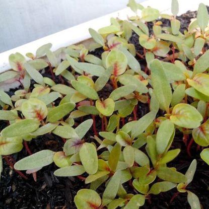 Jak i kiedy sadzić nasiona amarantusa do sadzonek