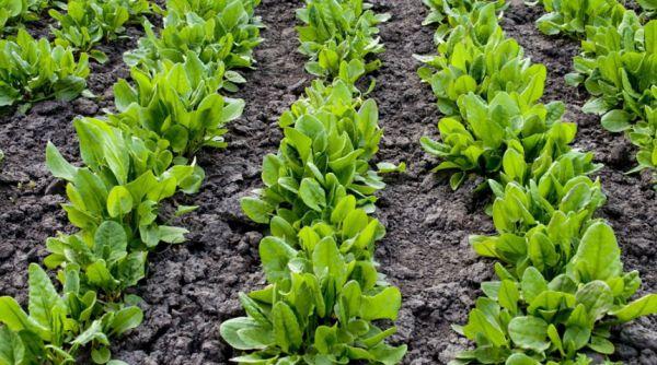 Wiosenne sadzenie nasion szczawiu na otwartym terenie