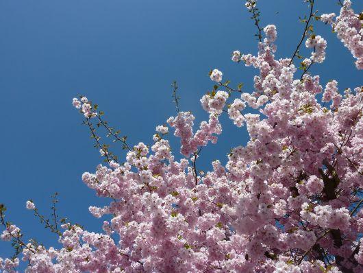 Dlaczego wiśnia kwitnie, ale nie przynosi owoców: główne powody