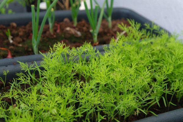 Jak wyhodować koperek na parapecie z nasion w domu