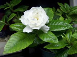 Kwiat gardenii. Jak rosnąć i dbać.