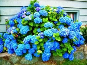 Kwiat hortensji. Jak rosnąć