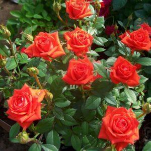 Jak prawidłowo hodować róże