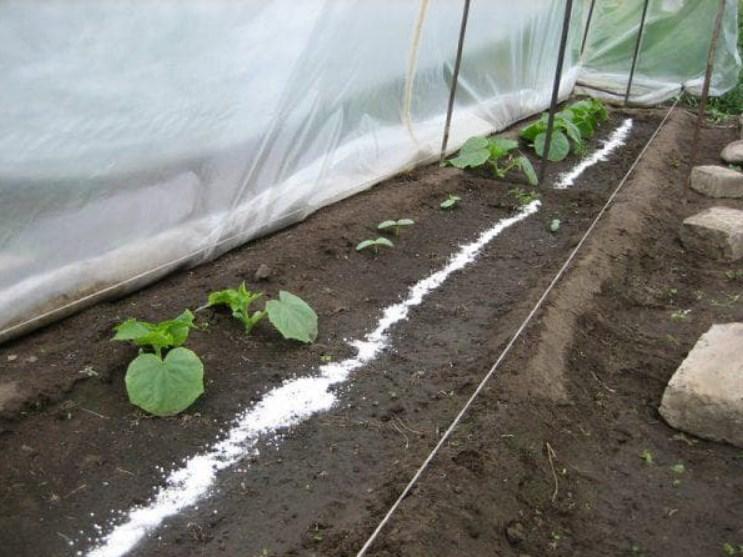 Jak nawozić ogórki w szklarni