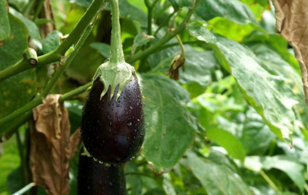 Jak nawozić bakłażany na wszystkich etapach wzrostu i dojrzewania