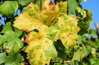 Żółte plamy na liściach winorośli