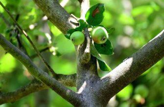 Jabłka nie rosną